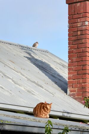Red Ginger cat on a tin roof hunting a pigeon bird. 写真素材