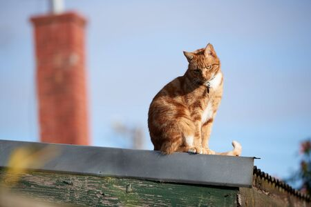 Cute ginger red cat sitting on a tin roof looking down.