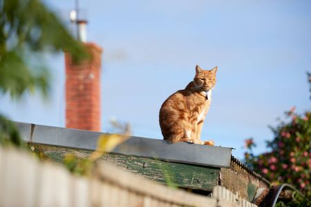 Ginger red tabby cat sitting on a corrugated iron roof on a sunny day looking at the  camera. 写真素材