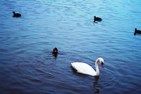 several Swans in blue Lake Stock Photo - 7860760