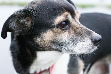 ojos tristes: Retrato de un perro con ojos tristes