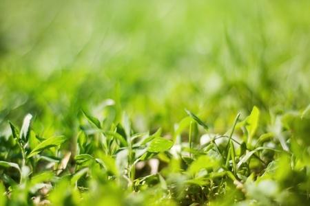 dyllic: Fresh green grass, blur background