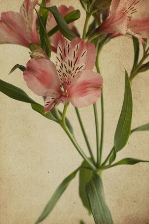 alstroemeria: vintage postcard with Alstroemeria