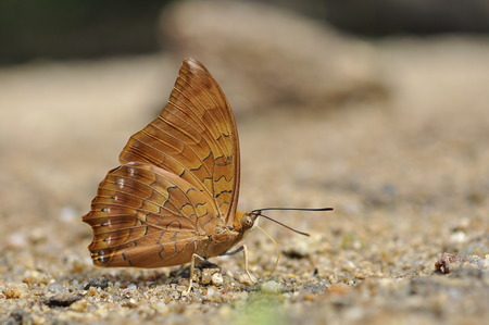 rajah: Close up of Tawny Rajah puddling on the ground in nature
