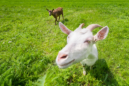 Two goats on a green meadow