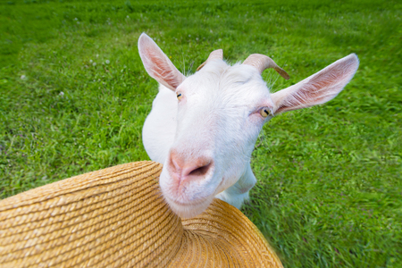 yeanling: White goat on a green meadow with a straw hat Stock Photo