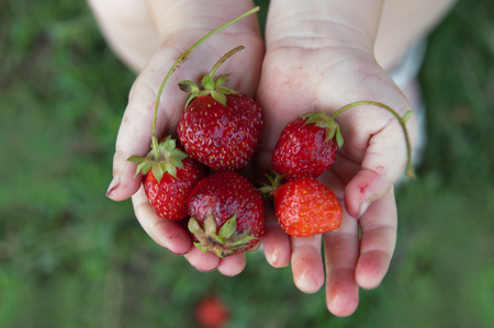 dirtied: Child holding in hands a fresh strawberry Stock Photo