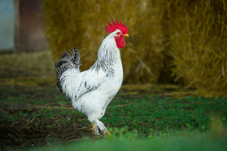 cluck: White rooster outdoors
