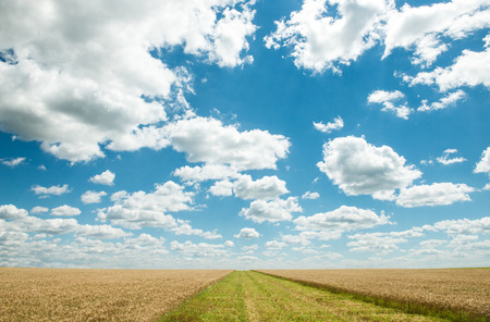 magnificence: Beautiful field of wheat under the blue sky Stock Photo