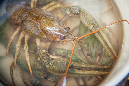 Live crawfish under the water