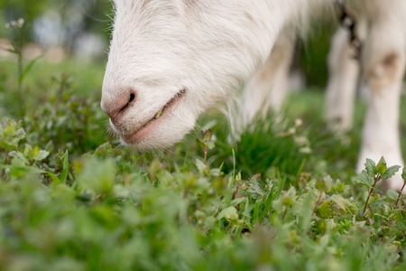 Goat eating grass on a green meadow closeup