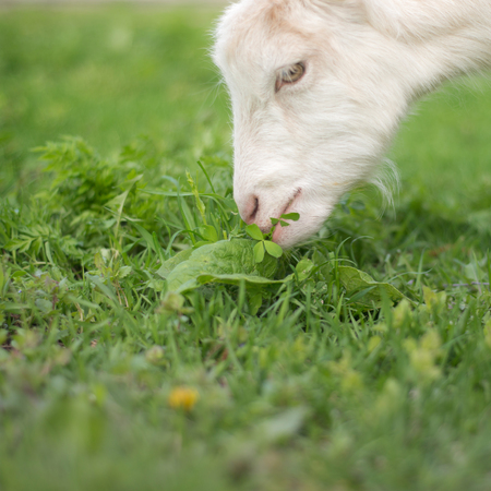 Goat eating grass on a green meadow Фото со стока