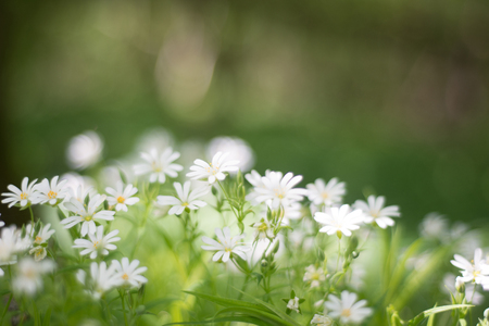 Beautiful white tender wildflowers in spring Фото со стока