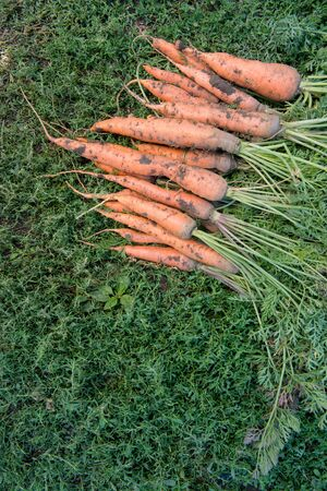 Fresh dirty carrot on green grass Фото со стока