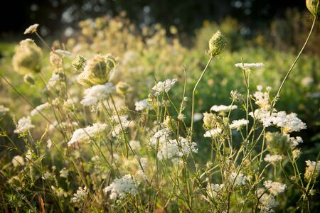 Beautiful tender wildflowers dreamy cow parsley on the field