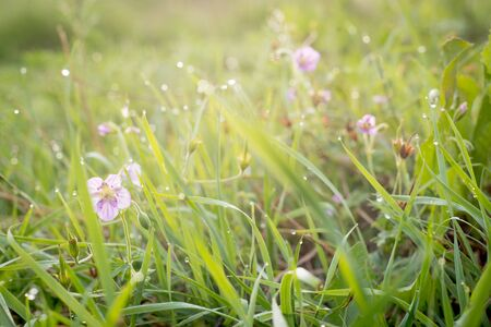 Beautiful purple tender wildflowers and grass with dew in the morning