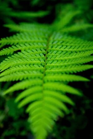 Green foliage fern, background