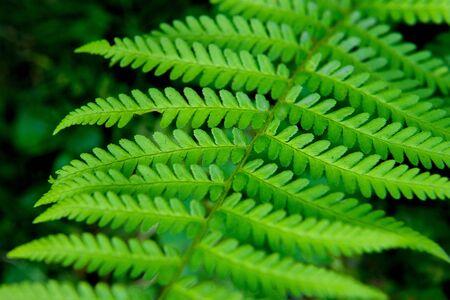 Green foliage fern, background Banco de Imagens