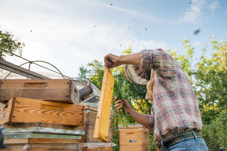 beekeeper with a honeycomb full of bees works in an apiary