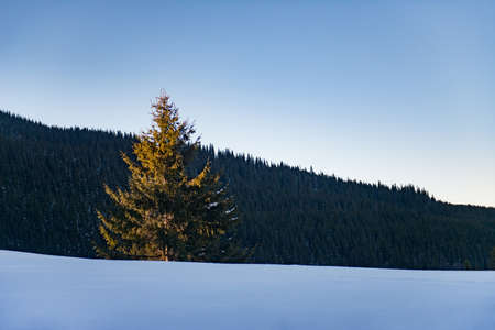 Scenic fir tree illuminated by the sun on the slope of a snowy mountain forest