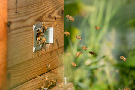 Bees fly into the wooden beehive Standard-Bild