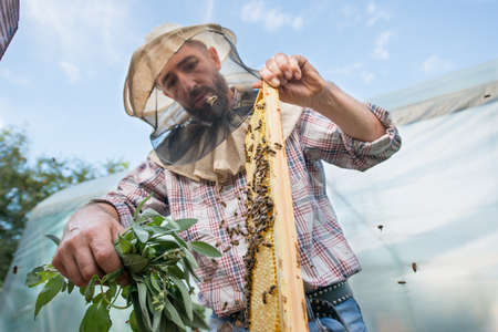 Beekeeper cleans the honeycomb from the bees with a bunch of mint