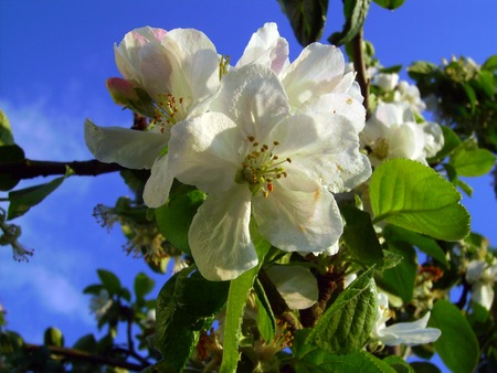 bluesky: Blossoms on the tree
