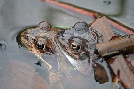 anura: Frogs during mating