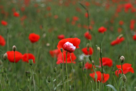 Hermaphrodite: Poppies