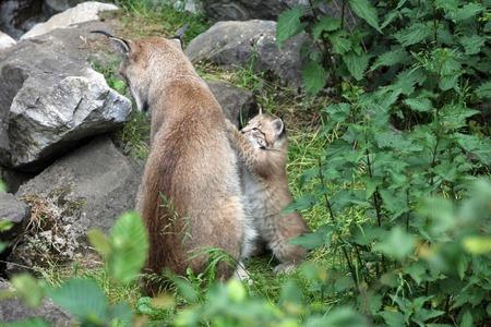 lince: Familia Lynx Foto de archivo