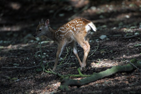 fawn: Rennendes Fawn Stock Photo