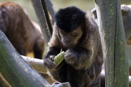 omnivore animal: Capuchin monkey eats