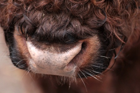 nostrils: Bull