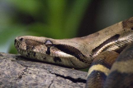 serpentes: Snake lying in wait Stock Photo