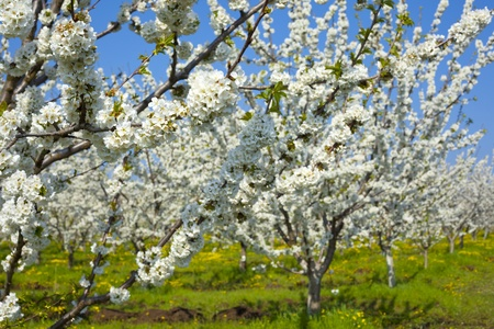 Blossom cherry garden photo