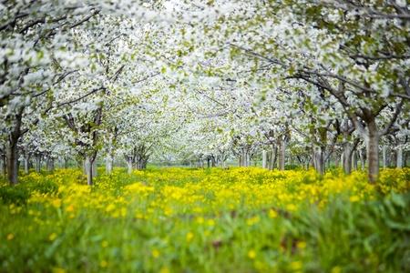 Jard�n de los cerezos en flor Foto de archivo - 12779901