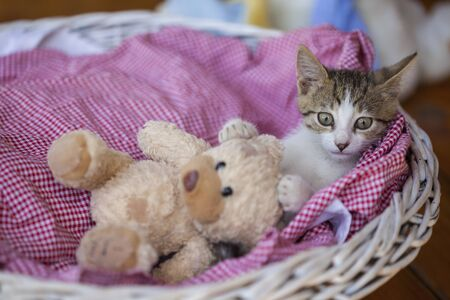Sweet little kitty in a basket with old bear toy Stock Photo