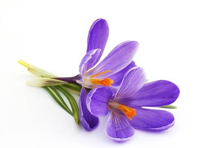 petites fleurs: crocus - fleurs du printemps Banque d'images