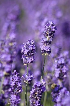 lavender flowers Standard-Bild