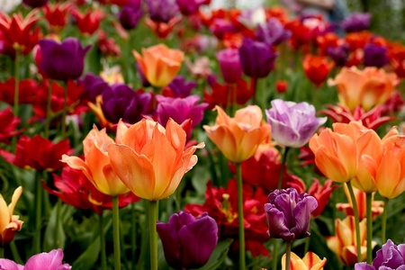 Tulips - flowers of spring photo