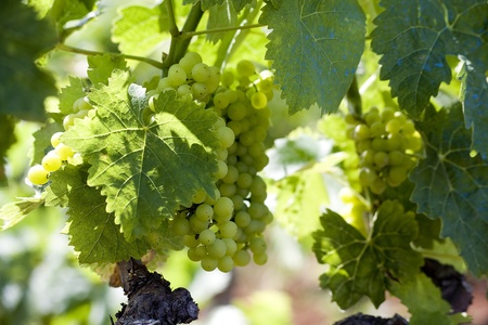 Wine grapes on the vine photo