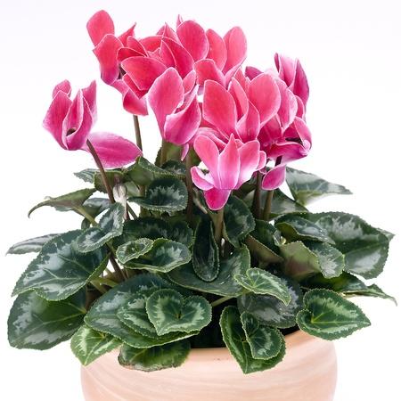cyclamen flowerpot Standard-Bild