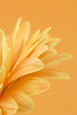 gerbera daisy Stock Photo - 12706502
