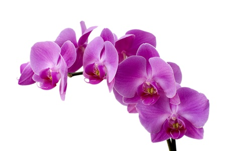 A sprig of pink orchids against a withe background Stock Photo