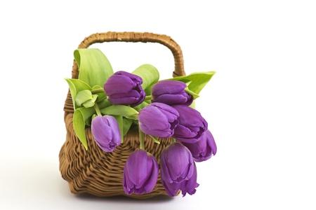 violet tulips photo