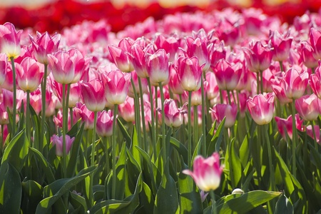 A spring field with pink tulips in the Netherlands Stock Photo - 12706129