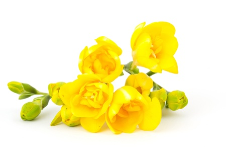 yellow freesia on white photo