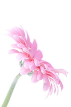 pink gerbera Stock Photo - 13069322