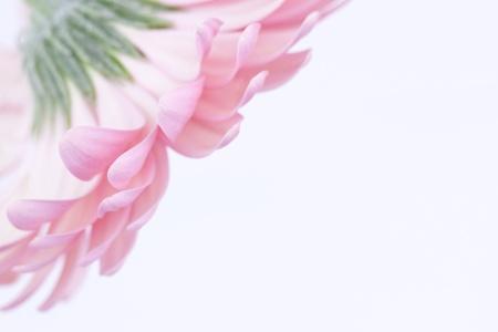 pink gerbera Stock Photo - 13069367