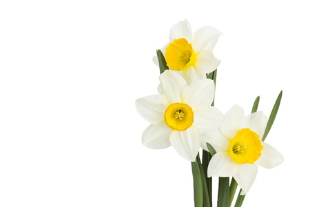 narcissus flowers Stock Photo - 13105911